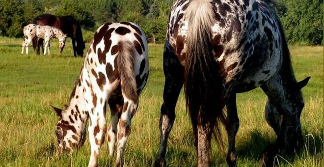Your questions about appaloosa spotting genetics answered