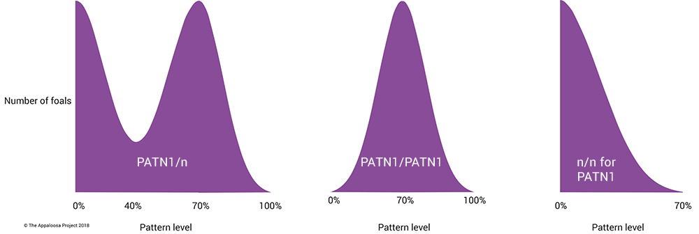 Three different appaloosa pattern inheritance outcomes, from three stallion genotypes – PATN1/n, PATN1/PATN1 and n/n for PATN1