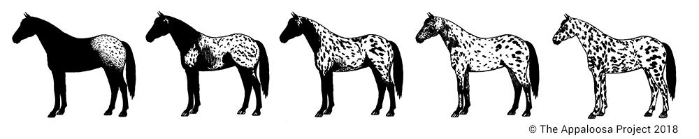 Continuum of Appaloosa coat patterns produced by PATN1