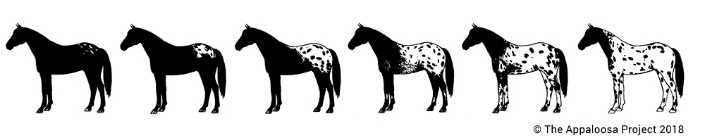 Appaloosa coat pattern continuum for blanket patterned horses that don't carry PATN1
